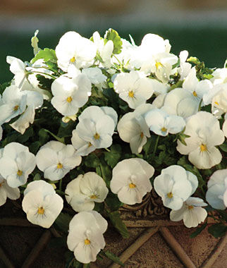 Pansy, Spreading, Plentifall White, , large